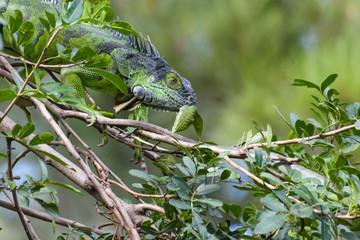 Green iguana in a tree