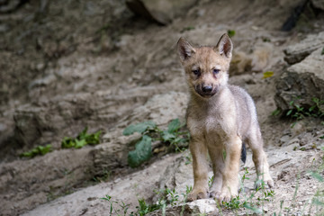 Young timberwolf in a forest