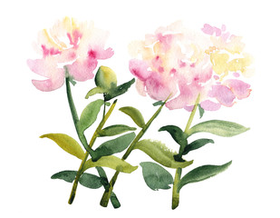 Watercolor sketch of pink peony flowers on white