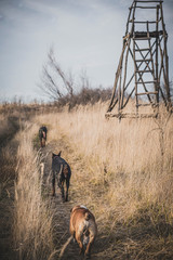 Doberman pinscher and english bulldog walking on the field,selective focus