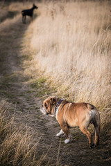 Dogs outdoor walking on the field,selective focus