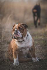 Love problems of bulldog with walking away  Doberman pinscher female,selective focus