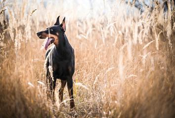 Female Doberman pinscher posing on the field,selective focus