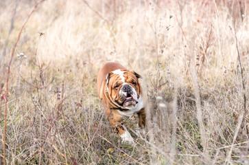 Blurred motion of running English bulldog