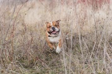 Blurred motion of English bulldog running on the field