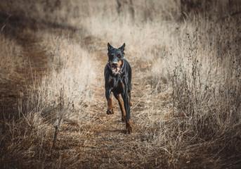 Female Doberman pinscher running on the dry field,selective focus