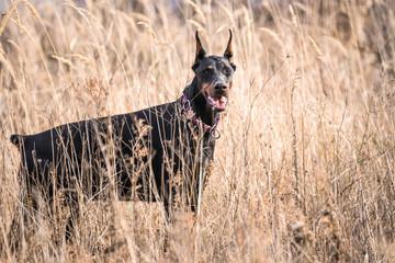 Female Doberman pinscher deep in the grass,selective focus