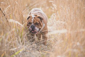 Portrait of English bulldog deep in the grass,selective focus