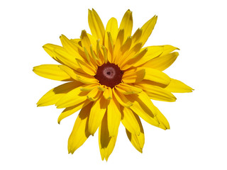 One cutleaf coneflower yellow flower isolated on white