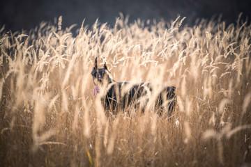 Doberman pinscher hiding deep in the golden grass,selective focus