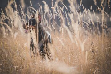 Female of Doberman pinscher dog hidding in the grass,selective focus
