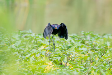 Bronze winged Jacana are found in south and east Asia within the tropical zone