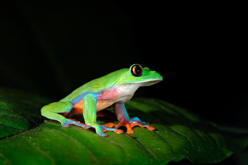 Agalychnis annae, Golden-eyed Tree Frog, green and blue frog on leave, Costa Rica. Wildlife scene from tropic jungle. Forest amphibian in nature habitat. Frog sitting on the green leave, night America