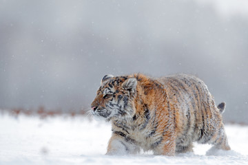 Running tiger with snowy face. Tiger in wild winter nature.  Amur tiger running in the snow. Action wildlife scene, danger animal. Cold winter, tajga, Russia. Snowflake with beautiful Siberian tiger.