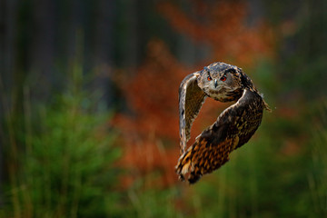 Flying Eurasian Eagle Owl, Bubo bubo, with open wings in forest habitat, orange autumn trees. Wildlife scene from nature forest, Russia. Animal in fall wood.