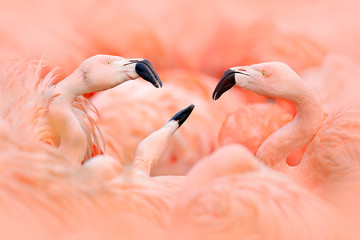Stores à enrouleur Flamingo Flaningo fight. American flamingo, Phoenicopterus rubernice, pink big bird, dancing in water, animal in the nature habitat, Cuba, Caribbean. Wildlife scene from nature. Flock of birds.