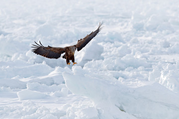 Fototapete - Big eagles, snow sea. Flight White-tailed eagle, Haliaeetus albicilla, Hokkaido, Japan. Action wildlife scene with ice. Eagle in fly. Eagle fight with fish. Winter scene with bird of prey.