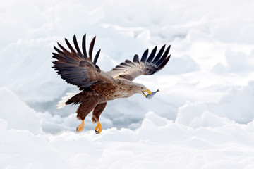 Fototapete - Eagle fight with fish. Winter scene with bird of prey. Big eagles, snow sea. Flight White-tailed eagle, Haliaeetus albicilla, Hokkaido, Japan. Action wildlife scene with ice. Eagle in fly.
