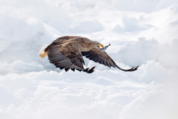 Wall Mural - Flight White-tailed eagle, Haliaeetus albicilla, Hokkaido, Japan. Action wildlife scene with ice. Eagle in fly. Eagle fight with fish. Winter scene with bird of prey. Big eagles, snow sea.
