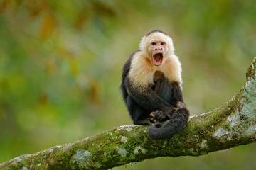 White-headed Capuchin, black monkey sitting on tree branch in the dark tropic forest. Wildlife Costa Rica. Travel holiday in Central America. Wildlife scene from tropic jungle. Open muzzle with tooth