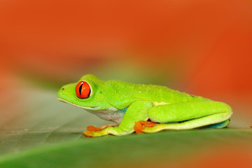 Red-eyed Tree Frog, Agalychnis callidryas, animal with big red eyes, in the nature habitat, Panama. Frog from Nicaragua. Beautiful frog in forest, exotic animal from central America, red flower.