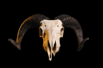 Front view of a ram skull with horns