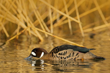 Bronze-winged duck, Speculanas specularis, Spectacled duck brown duck, floating on dark yellow water surface. Splash water with duck. Bird from Chile with river grass. Evening light in river.