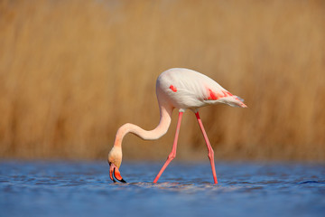 Nice pink big bird Greater Flamingo, Phoenicopterus ruber, in the water, with evening sun, Camargue, France. Wildlife scene in nature. Bird feeding in water. Animal behaviour.