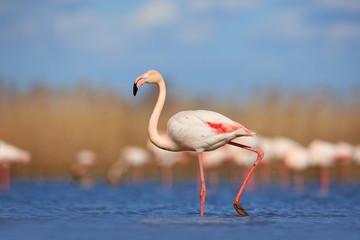Beautiful water bird. Pink big bird Greater Flamingo, Phoenicopterus ruber, in the water, Camargue, France. Flamingo walk in water. Wildlife animal scene from nature. Flamingo in nature habitat.