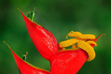 Poison danger viper snake from Costa Rica. Yellow Eyelash Palm Pitviper, Bothriechis schlegeli, on red wild flower. Wildlife scene from tropic forest. Bloom with snake in Central America.