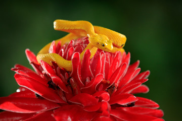 Yellow Eyelash Palm Pitviper, Bothriechis schlegeli, on red wild flower. Poison danger viper snake from Costa Rica. Wildlife scene from tropic forest. Bloom with snake in Central America.