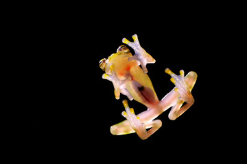 Glass frog with transparent skin, visible organs, heartbeat. Raticulated Glass Frog, Hyalinobatrachium valerioi, green tropic forest, Costa Rica- Wildlife scene, nature. Small glass-frog, night jungle