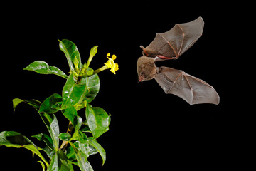 Orange nectar bat, Lonchophylla robusta, flying bat in dark night. Nocturnal animal in fly with yellow feed flower. Wildlife action scene from tropic nature, Costa Rica. Bat with wing. Mammal fly.