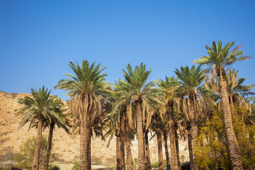 Oasis in desert. Palm trees against mountain