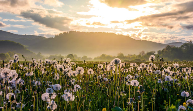 field of white fluffy dandelions at foggy sunrise. beautiful countryside scenery in mountainous area