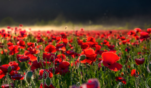 poppy flowers field in foggy mountains. beautiful summer landscape at sunset
