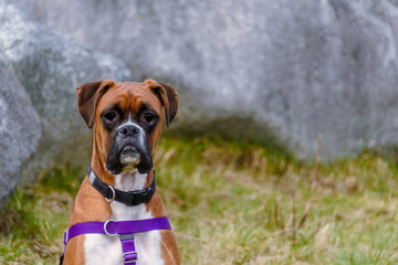 An animal sits, a red-haired dog with a black collar and a blue leash, green grass and a gray wall in the background Fotobehang