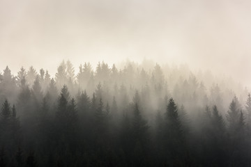 Pine Forests. Misty morning view in wet mountain area. Wall mural