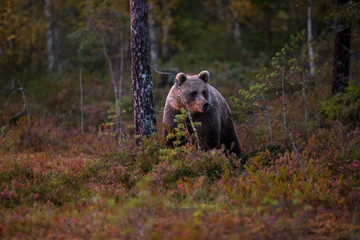 Ursus arctos. The brown bear is the largest predator in Europe. He lives in Europe, Asia and North America. Wildlife of Finland. Photographed in Finland-Karelia. Beautiful picture. From the life of th