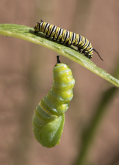 Monarch caterpillar butterfly hooked under a milkweed leaf is transforming to a chrysalis while a young caterpillar nibbles the topside of the leaf