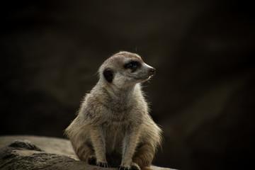 Meerkat relaxing in habitat.