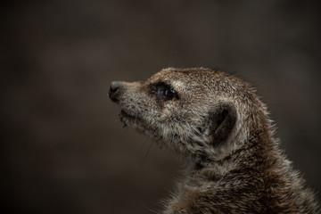 Meerkat closeup, serious face.