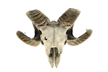 sheep skull on white isolated background
