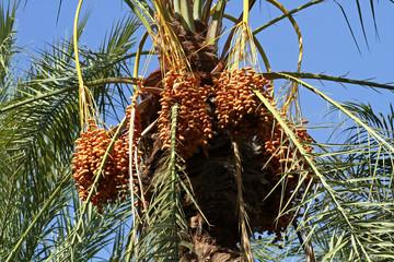 Date palm, Sousse, Tunisia