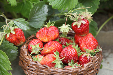 Strawberries lie in a basket in the garden. Delicious sweet berries after harvest in the organic garden.