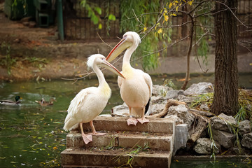 Cute pelicans in zoological garden