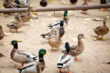 Cute ducks in zoological garden