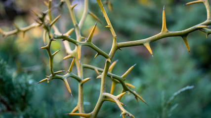 Close up of Thorns, or spine, prickle or pricker focus on thorn