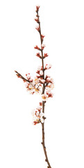 branch of apricots with flowers isolated