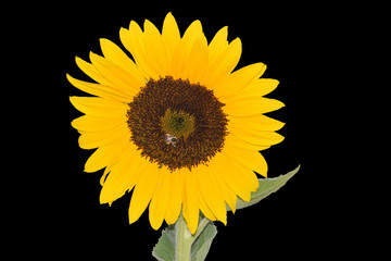 Mandala Sunflower with Bee